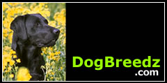 Labrador Retriever pictures, photos, information and eCards